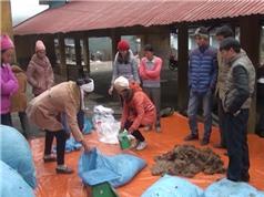 Cao Bằng: Ủ bã dong riềng làm thức ăn bổ sung cho trâu, bò