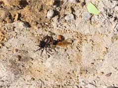 Nhện thợ săn giả chết vẫn bị ong bắp cày truy giết
