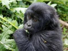 Loài khỉ đột núi ở Rwanda đứng trên bờ vực tuyệt chủng