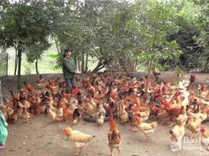 Nghệ An: Xây dựng thương hiệu gà thả đồi Yên Thành