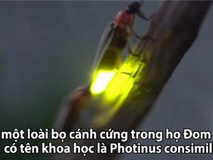 Ngôn ngữ tình yêu của đom đóm vào mùa giao phối