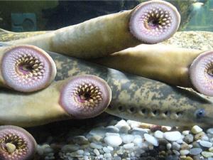 Gene có thể chữa bệnh liệt ở quái ngư 'hóa thạch sống'