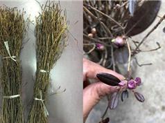 Chuyên gia lý giải sự thật về hoa đỗ quyên ngủ đông bị tẩm hóa chất