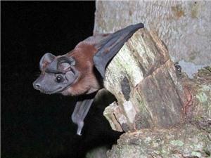 Phát hiện hai loài dơi mặt chó mới tại Panama và Ecuador