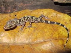 Phát hiện loài thằn lằn ngón mới tại Sơn La