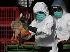 Hàn Quốc phát hiện chủng cúm gia cầm nguy hiểm trước thềm Olympic