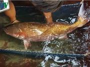 Một người câu được 6 con cá nghi loại sủ vàng quý hiếm