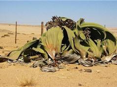 Loài cây 'hóa thạch sống' tồn tại 1.000 năm trên sa mạc