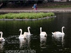 """Thiên nga được """"quây"""" bằng lưới nhựa ở hồ Thiền Quang"""