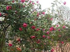 Bảo hộ giống hoa: Dùng giống hoa nổi tiếng làm nguyên liệu cho đăng ký giống mới