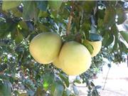 Hà Nội bảo tồn giống bưởi bốn mùa