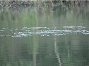 Chưa thể khẳng định rùa ở hồ Yên Lập là rùa Hoàn Kiếm