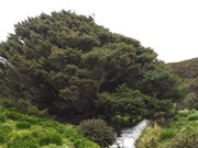 Kỳ lạ cây cô độc nhất hành tinh