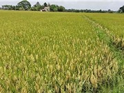 59% diện tích lúa sử dụng các giống nội địa