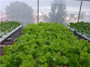 Mô hình trồng rau thủy canh ở không gian hẹp cho các hộ dân Buôn Ma Thuột
