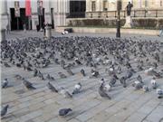 Đạo quân chim câu có thể giám sát liên tục ô nhiễm và bệnh tật đô thị