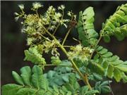Thừa Thiên - Huế nghiên cứu phát triển cây mán đỉa chữa bệnh gan