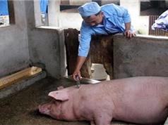 Việt Nam chủ động sản xuất vắc xin phòng bệnh ở lợn