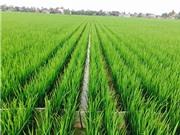 Vĩnh Bảo: Nhân rộng kỹ thuật cấy lúa hàng biên