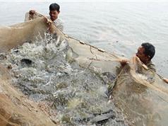 Hải Phòng: Lãi 100 triệu đồng/năm từ mô hình nuôi cá rô phi theo VietGAP