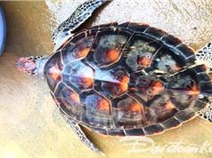 Giải cứu kịp thời cá thể rùa trong sách đỏ
