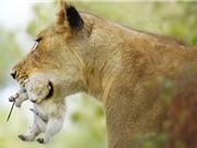 Phát hiện chú sư tử bạch tạng hoang dã siêu quý hiếm