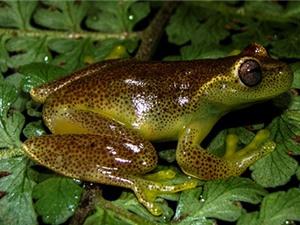 Phát hiện loài ếch mới ở biên giới Venezuela và Colombia