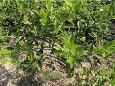 Vĩnh Phúc trồng cây chanh đào áp dụng công nghệ tưới nhỏ giọt trên vùng đất đồi