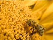 Liên minh châu Âu cấm thuốc trừ sâu gây hại cho ong
