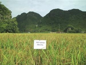 Cao Bằng: Triển vọng trong công tác bảo tồn, phục tráng các giống lúa nếp đặc sản Trùng Khánh
