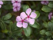 Tiết lộ bí mật loài hoa chống ung thư