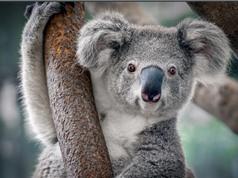 Tại sao gấu túi Úc mắc bệnh Chlaymedia?