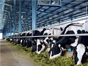 Mô hình chăn nuôi tiên tiến ở Củ Chi