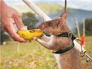 Chuột có thể phát hiện bệnh lao?