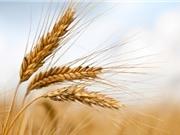 Nồng độ CO2 gia tăng khiến cây lương thực ít dinh dưỡng hơn
