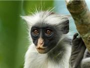 Ứng dụng nhận diện khuôn mặt giúp bảo vệ các loài linh trưởng