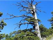 Cây thông cổ thụ già nhất châu Âu