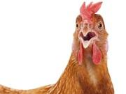 Frankenfowl: phôi thai lai giữa người và gà