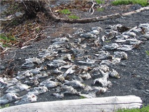 Hiện tượng chim chết hàng loạt một cách bí ẩn giải thích thảm họa sắp xảy ra