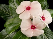 Con đường sinh tổng hợp chất chống ung thư vinblastine từ cây dừa cạn