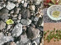 'Mưa đá quý' trút xuống từ núi lửa Hawaii