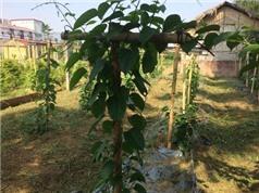 Vĩnh Phúc: Triển khai mô hình trồng cây dược liệu Sacha Inchi