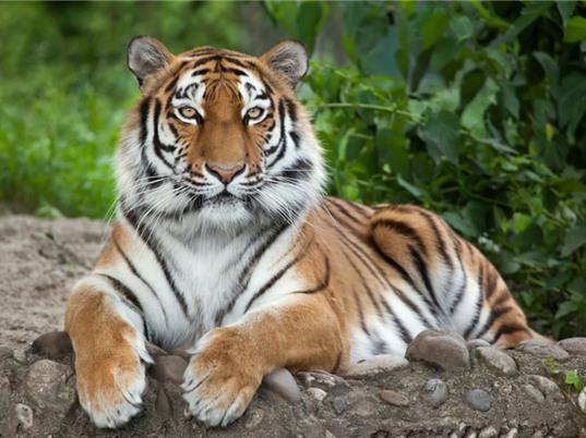 Bất ngờ về số lượng lớn hổ được bắt làm thú nuôi