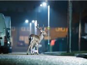 Động vật đang chuyển dần hoạt động về đêm do ảnh hưởng của con người