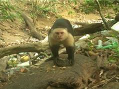 Khỉ biết dùng đá để làm công cụ