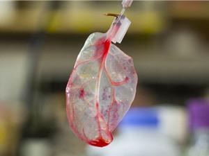[Video] Nuôi cấy tế bào tim bằng rau chân vịt