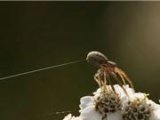 Lợi dụng điện trường, nhện có thể bay hàng dặm mà không cần cánh