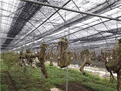 Hà Giang: Nghiên cứu, thu thập, bảo tồn và phát triển Lan rừng