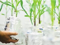 Tăng rào cản pháp lý với cây trồng sửa gene bằng CRISPR