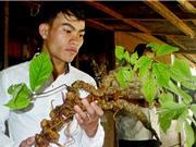 Sâm Việt Nam: Giá trị cao nhưng ít được nghiên cứu